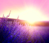 Lavender field in Provence, France. Blooming violet fragrant lavender flowers