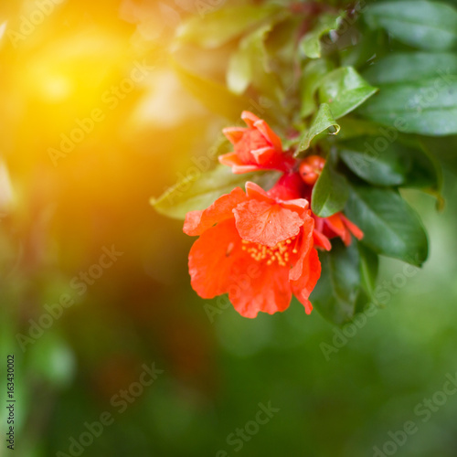 Branch of pomegranate tree with flowers