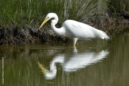 Fotobehang Zwaan Grande Aigrette,. Ardea alba, Great Egret