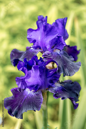 two blue iris flowers in a natural green grass background