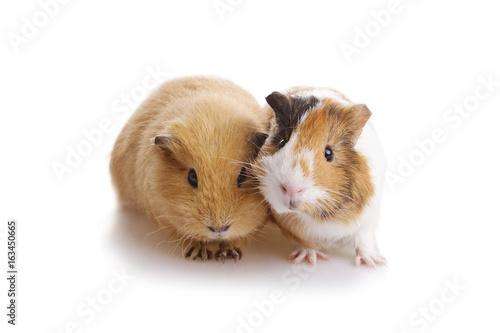 deux cobayes cochons d'Inde Poster
