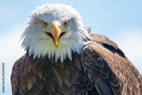 American bald eagle. USA bird of prey portrait image.