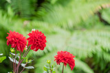 Close up Beautiful Red Dahlia in the garden with soft focus green fern background.