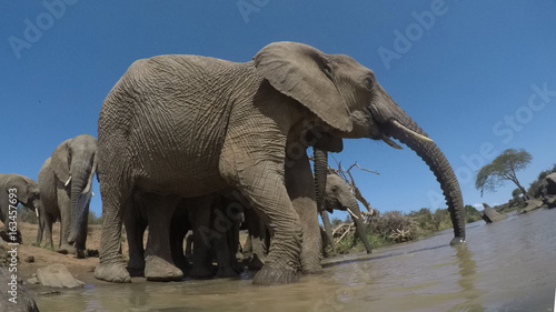African Elephants drinking at river