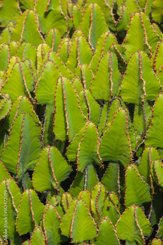 Natural background from green cacti in a cactus park on Lanzarote island, Canary Islands, Spain