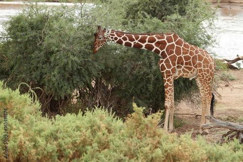 Poster Giraffen in der afrikanischen Savanne von Kenia