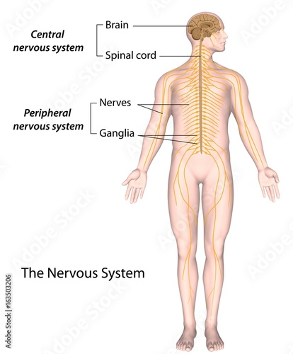 the nervous system: central and peripheral, labeled