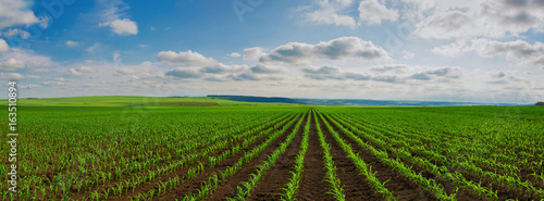 lines of young corn shoots on big field
