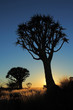 Silhouette of quiver trees (Aloe dichotoma) at sunrise, Namibia, southern Africa.