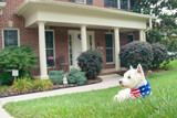Dog in american flag scarf on driveway of luxury house - 163518050