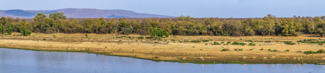 Landscape with antelopes in Kruger National park, South Africa