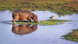 Hippopotamus in Kruger National park, South Africa - 163537684