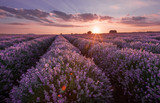 Lavender fields. Beautiful image of lavender field. Summer sunset landscape, contrasting colors. Dark clouds, dramatic sunset. - 163540400