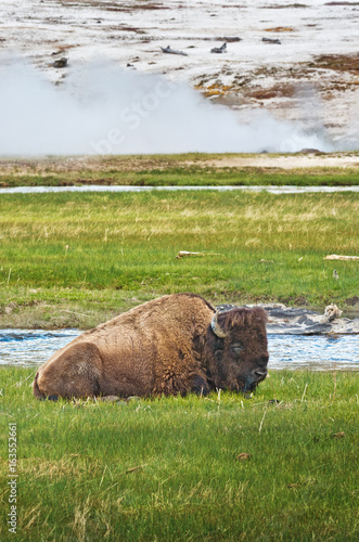 American bison in Yellowstone National Park, Wyoming, USA