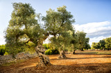 Old olive grove at sunset in Puglia (Apulia) - Italy - 163553419