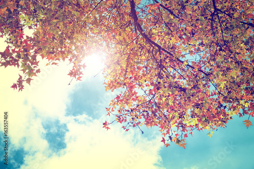 Papiers peints Automne Beautiful autumn leaves and sky background in fall season, Colorful maple foliage tree in the autumn park, Autumn trees Leaves in vintage color tone.