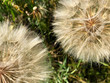 Large dandelions in the grass. - 163560825