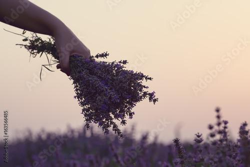 Papiers peints Lavande Gathering a bouquet of lavender. Girl hand holding a bouquet of fresh lavender in lavender field. Sun, sun haze, glare. Purple tinting