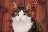 Portrait of a looking cat cat with a wood pattern background.