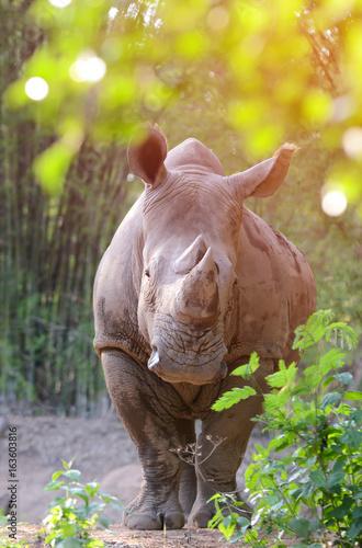 white rhinoceros standing behind the bush