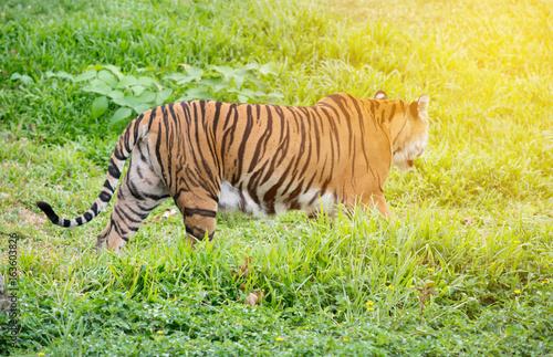 bengal tiger walking among green grass