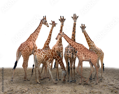 Poster group of giraffe standing on the ground