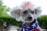 Chinese Crested Hairless dog with patriotic flag scarf and red dyed fur - 163608470