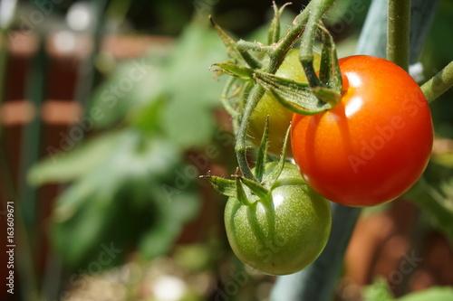プチトマト Plakát