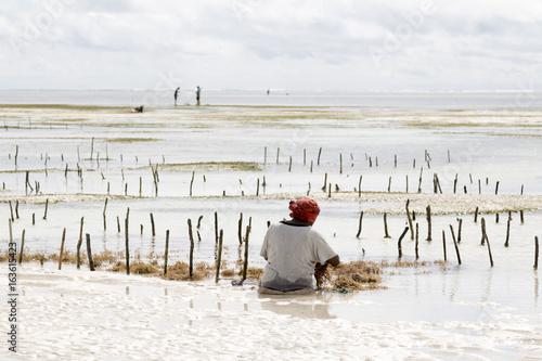 woman harvesting seagrass Tanzania, Zanzibar island
