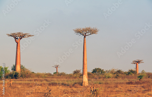 Fotobehang Baobab Beautiful Baobab trees in the wide landscape of Madagascar