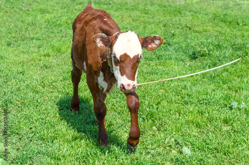 Cow calf standing in a field with green grass. Poster