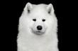 Portrait of Samoyed Dog isolated on Black background, front view