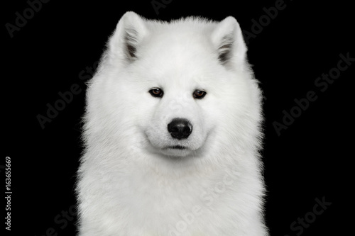 Portrait of Samoyed Dog isolated on Black background, front view