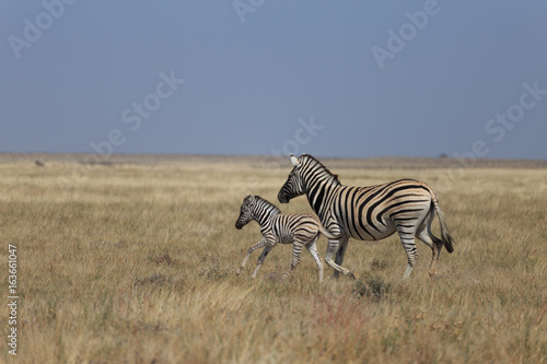 Fotobehang Overige Zebras in Etosha national park Namibia, Africa