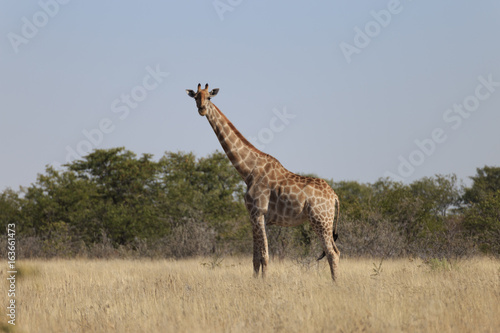 Poster Giraffes (Giraffa Camelopardalis) walking over flat open plains