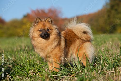 Portrait of nice brown spitz