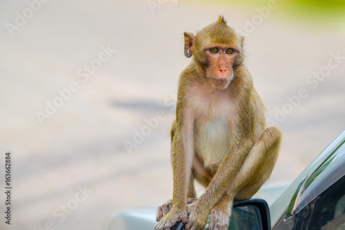 Thai monkey. monkey in Southeast Asia. Long-Tailed Macaques.