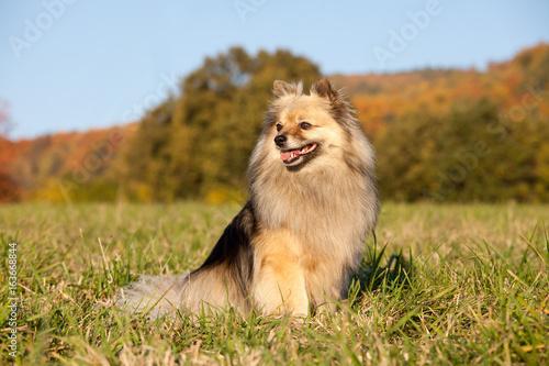 Portrait of nice spitz