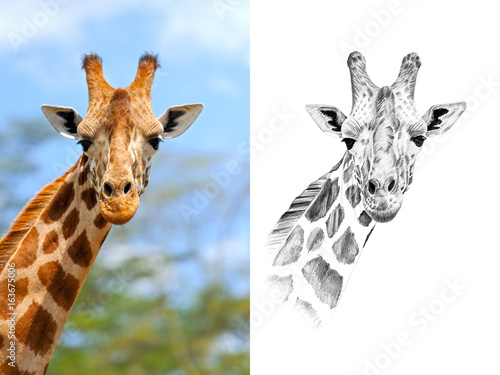 Poster Portrait of giraffe before and after drawn by hand in pencil