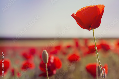 red poppy growing wild in a springtime field