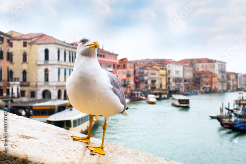 Albatross at Rialto Bridge and Venice houses and canal on the background, Italy