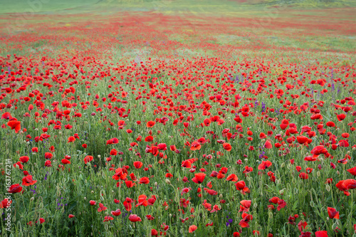 Fototapeta Beautiful field of red poppies