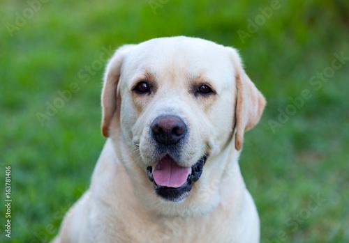 Beautigul Yellow Golden Labrador