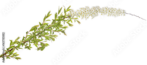 spring isolated branch with small white blooms
