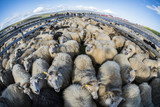 Traditional sheep gathering in Iceland - 163788282