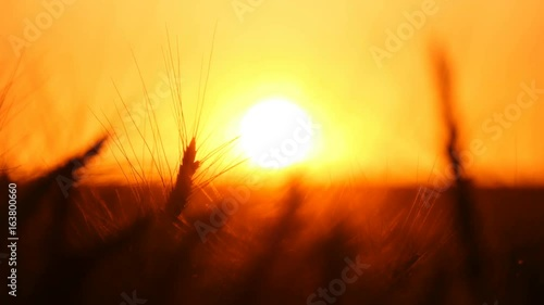 Foto op Plexiglas Bruin Wheatfield ripe spikes are waving slowly on a huge wheat field. Under the beaming rays of a splendid sunset, the shot gets a symbolic meaning, being made in slow motion.