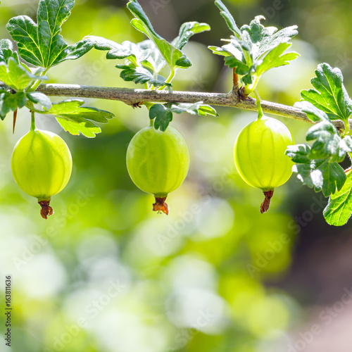 Bush of gooseberries with ripe fruits.