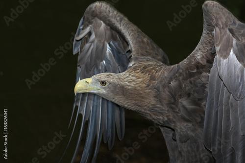Seeadler mit ausgebreiteten Flügeln