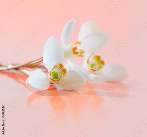 Spring snowdrop flower.
