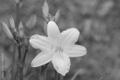 Yellow bright flower - black and white Poster